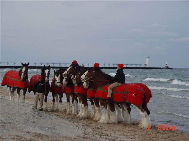 In 2004 the Budweiser Clydesdale's were being exercised on the beach at Fifth Avenue